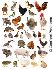livestock  - on a white background