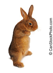 rabbit  - Standing, a rabbit on a white background