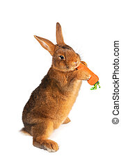 brown rabbit - Rabbit with carrot in paws ?n a white...