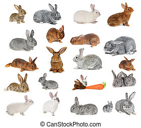 rabbits -  Rabbit a on white background