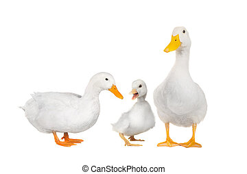 duck white -  duck white on white a background
