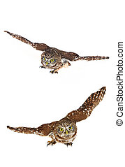 two owl  - brownie  horned   two owl on a white background