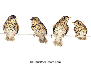 song thrush  - two song thrush  on a white background