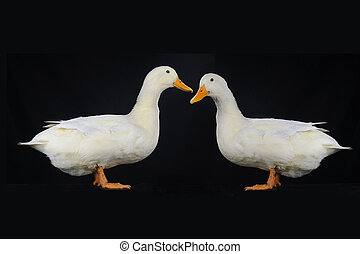 two duck on a black background