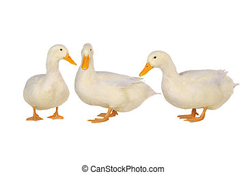 three duck on a white background