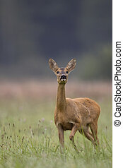 Roe-deer in the wild, on the clearing.