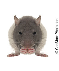 Rat - grey rat on a white background