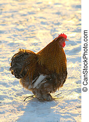 cock on a white background...