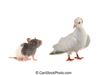 Rat and dove n a white background