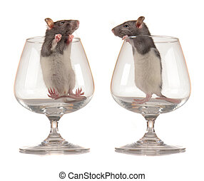 rats - Rats on a white background