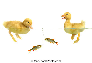 ducks  -  ducks and fish on white background