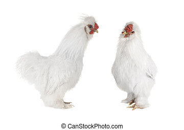 white cocks - thoroughbred white cocks on a white background...