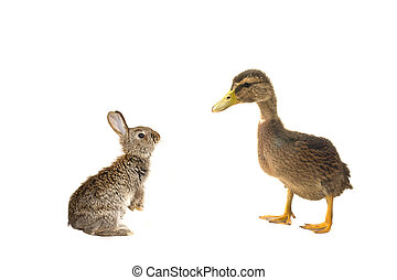 duck and grey rabbit on a white background