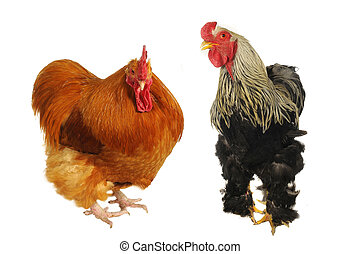 two thoroughbred brown cock on a white background