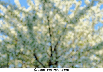 blossom cherry tree - abstract blurred blossom cherry tree