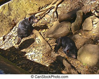 Tasmanian Devils - A couple of Tasmanian Devils at North...