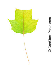 Autumn leaf of American tulip tree