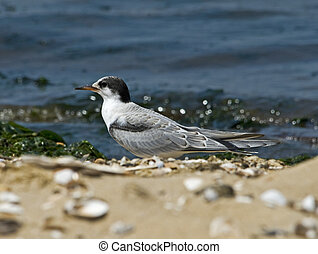 Juvenile Common Tern on Beach - A young Common tern sitting...