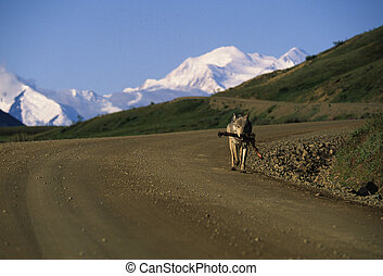 Wolf with Prey - a wolf carries a caribou leg down the road...