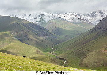 Yak looking at river valley, Tien Shan mountains, Kyrgyzstan