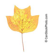 Autumn leaf of American tulip tree