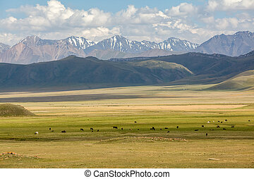 Cows pasturing in mountains of Tien Shan, Kyrgyzstan