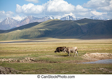 Two cows in the field. Tien Shan mountains on background