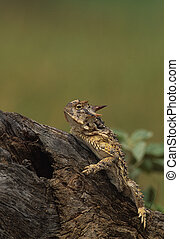 Horned toad - a horned toad on a log