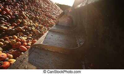 Tractor loading Pumpkins - Video footage of a loading food...