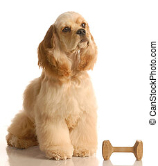 obedience trained dog - obedience training - american cocker...
