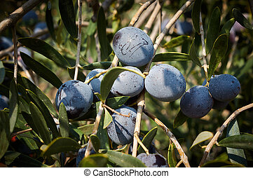 bunch of ripe olives