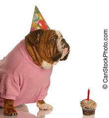 birthday dog - english bulldog with birthday party hat...