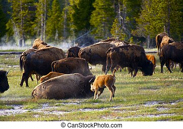 Wyoming, buffles