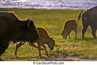 Wyoming Bisons - American Buffalo in Yellowstone National...