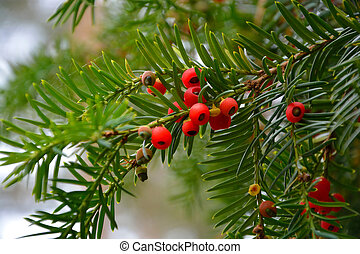 Yew berry. Conifers branches with red berries yew.
