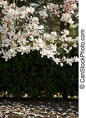 Magnolia Soulangiana Blossom Blossom Magnolia Branches...