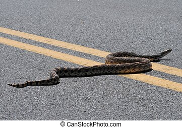 Bull Snake - Pretty Long Bull Snake on the Road. Central...