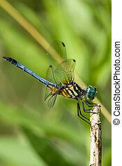Blue Dragonfly - Close up of a beautiful and blue dragonfly