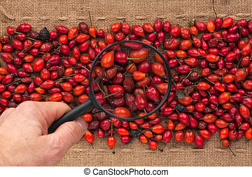 Man's hand with magnifying glass over rosehip and burlap