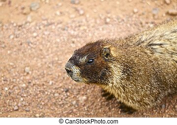 Bellied Marmot in Rocky Mountains, Colorado USA Whistle Pig...