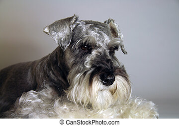 Bingo Boy - Schnauzer posing for photos