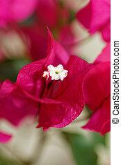 Bougainville, flores