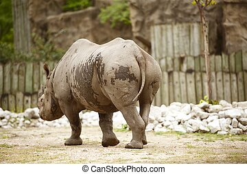 Rhinoceros in the Lincoln Park Zoo, Chicago, IL, USA...