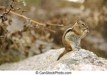 Chipmunk on the Large Stone. Colorado Chipmunk. Colorado...
