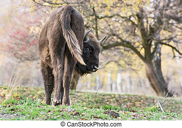 The European bison Bison bonasus in the wild