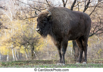 Big European bison Bison bonasus - Male European bison or...