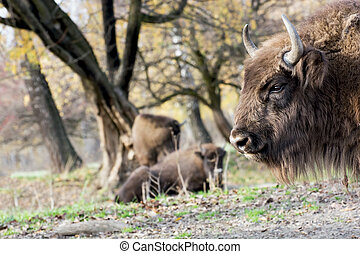 European bison Bison bonasus graze in the wild - European...