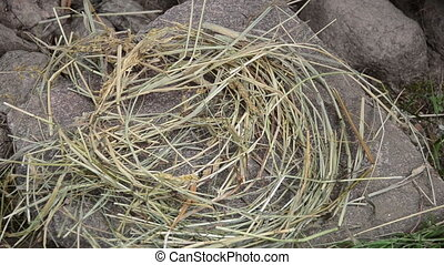 straw nest hen egg break - Straw bird nest on stone and...