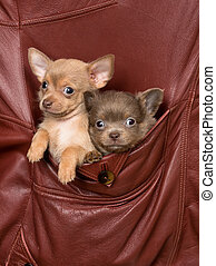 Dogs in a jacket pocket - Two adorable chihuahua puppies...