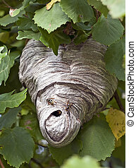 wasp nest - real wasp house, out in the open, among green...